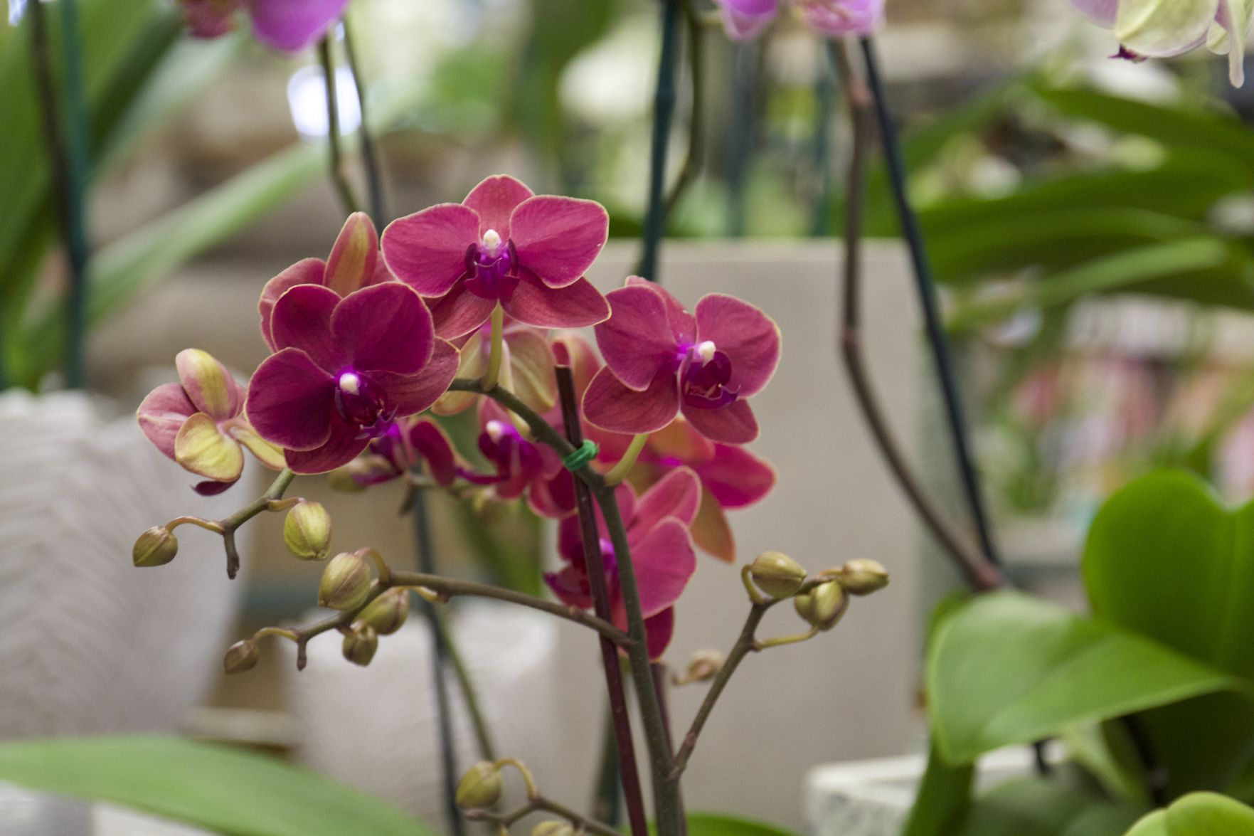 According to co-owner Phillip Gentry, orchids are low maintenance flowers