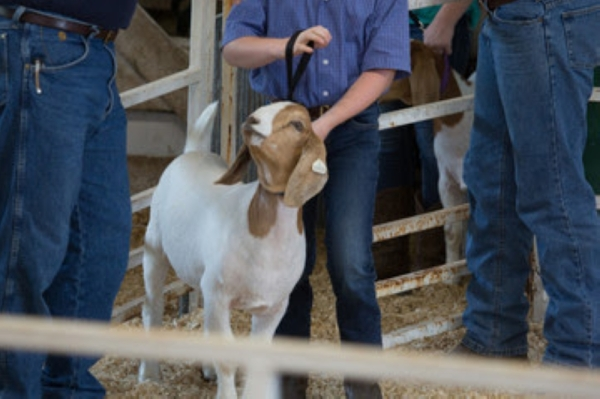 Participants will have an opportunity to show either a goat or a lamb at the Special Hearts Livestock Show in New Braunfels. (Courtesy Adobe Photo Stock)