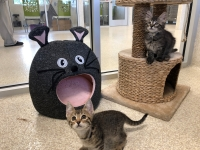 Cats and kittens, such as Bea and Bali (pictured), are available for adoption at BARC Animal Shelter's new cattery. (Courtesy city of Houston)