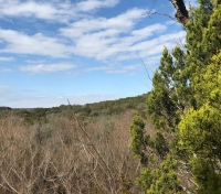 Common winter allergies in Texas are caused by pollen from the Ashe juniper—also known as a mountain cedar. The tree is native to the area. (Nicholas Cicale/Community Impact Newspaper)