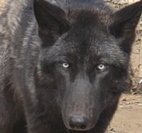 McQuade was named by Chuck Norris and his wife, Gena. (Courtesy Saint Francis Wolf Sanctuary)