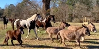 Henry's Home moved its 24-member herd to its new property Jan. 4. (Courtesy Henry's Home)