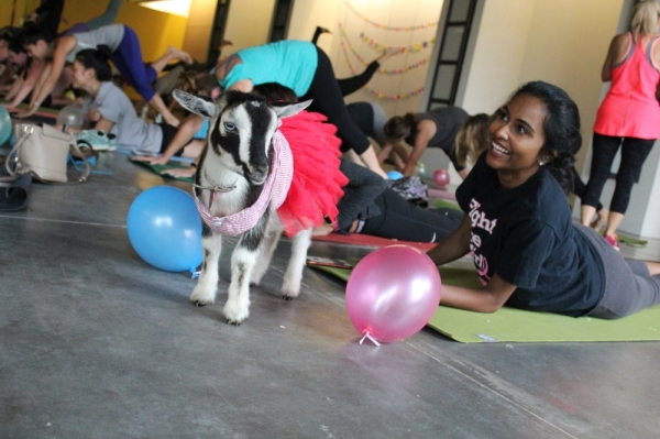 Kids can enroll in a four-week yoga program that ends with a goat yoga class. (Courtesy Yoga & Goga)