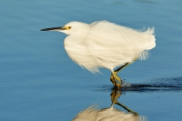 Snowy Egret, Riparian Preserve