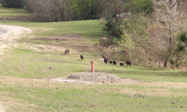 Feral hogs, seen here in neighboring Harris County, have been reported as a nuisance in parts of Montgomery County along Spring Creek, including The Woodlands. (Kelly Schafler/Community Impact Newspaper)