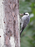 Sam Houston National Forest is home to various flora and fauna, including the endagered red-cockaded woodpecker. (Courtesy Texas A&M Forest Service)