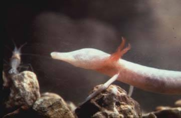 The Texas blind salamander is one of several species mentioned in a letter of intent to sue federal agencies over the Permian Highway Pipeline's impact. (Courtesy Texas Parks and Wildlife Department)