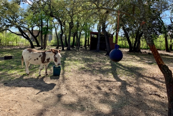 The property has also been home to a minihorse named Shorty and a minidonkey named Spot. (Katharine Jose/Community Impact Newspaper)
