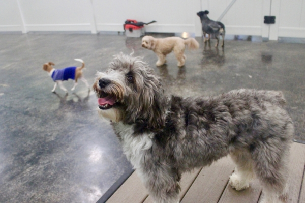 The doggie day care is completely indoors and has two large play areas for pups like Bonnie. (Amy Denney/Community Impact Newspaper)