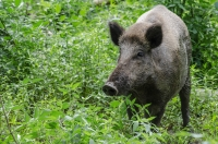 Feral hog control has been a topic at several recent meetings in The Woodlands. (Courtesy Adobe Stock)