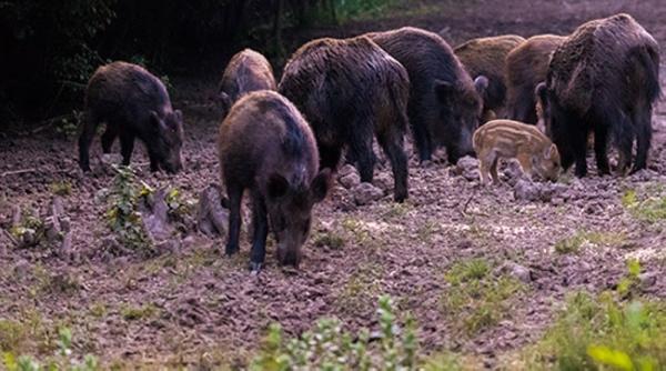 feral hogs, Seabrook