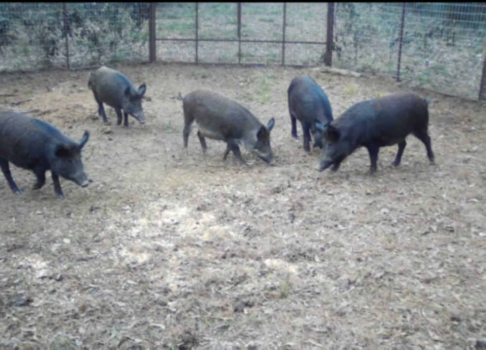 Montgomery County Precinct 3 traps have caught about 30 feral hogs so far. (Courtesy Montgomery County Precinct 3)