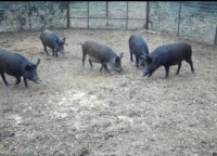 Montgomery County Precinct 3 traps have caught about 30 feral hogs so far. (Courtesy Montgomery County Precinct 3)
