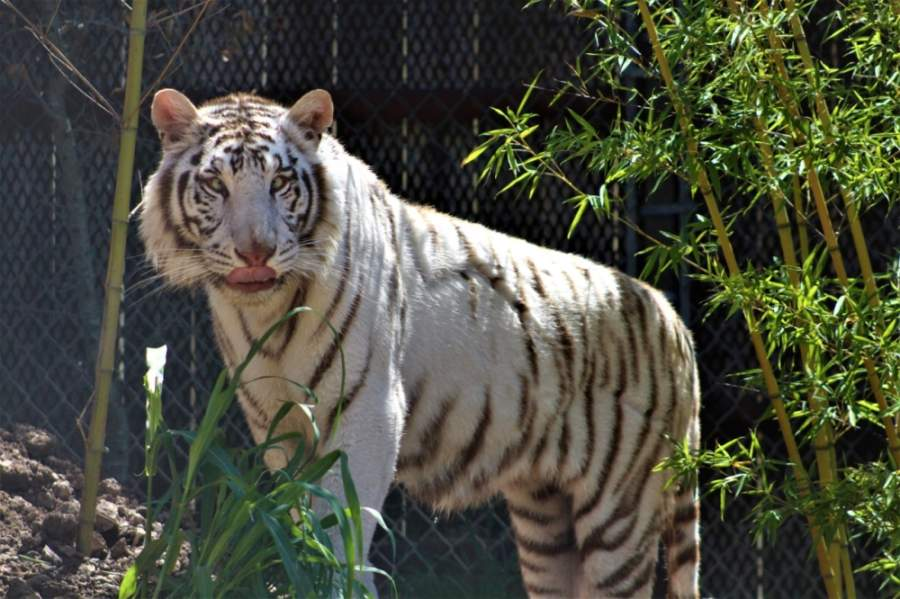 May 18 will be the first opportunity guests will have to see Austin Zoo's newest addition: Zulema, the white tiger. (Courtesy Austin Zoo)