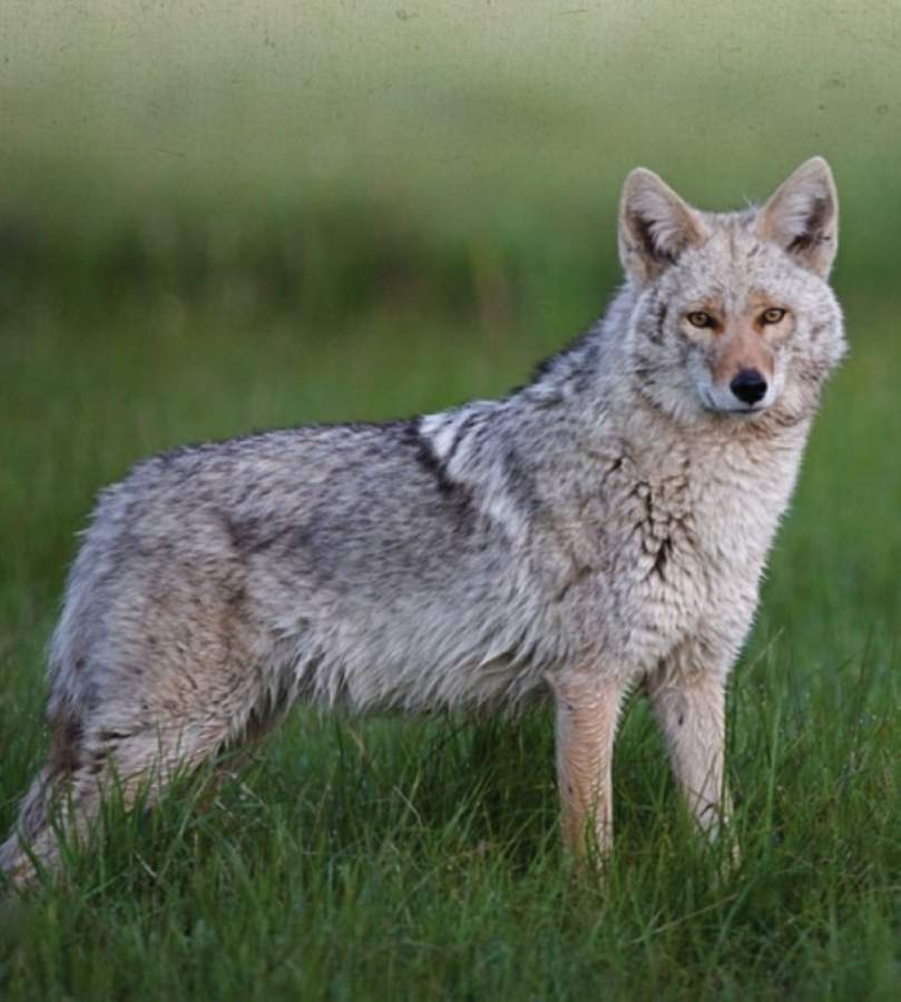 City Council discussed methods to peacefully coexist with coyotes during the May 13 council meeting. (Courtesy West Lake Hills)