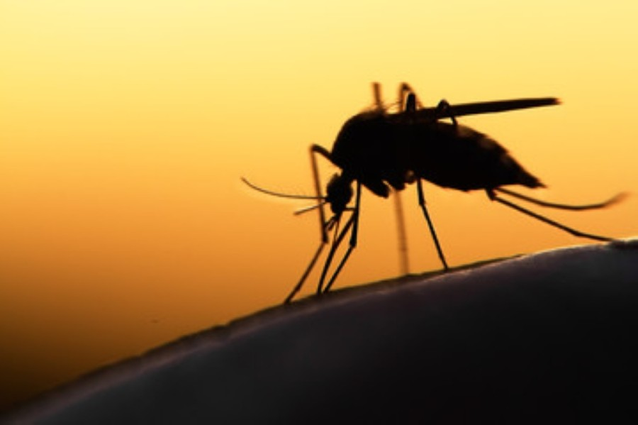 Williamson County mosquito traps have tested positive for West Nile virus three weeks in a row. (Courtesy Adobe Stock)