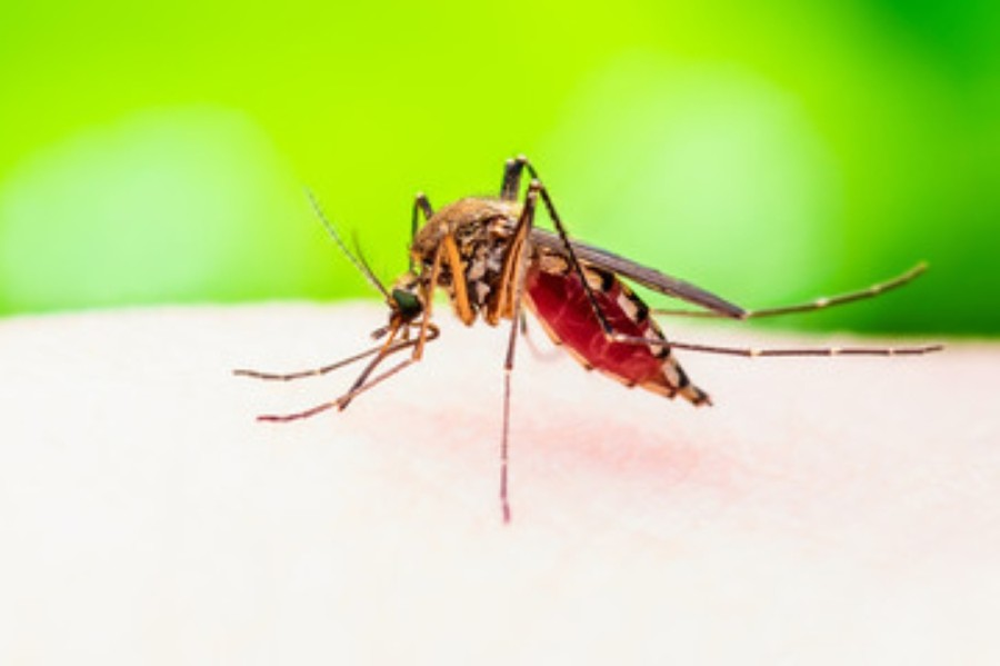 Public health officials are cautioning residents of mosquito samples testing positive for West Nile virus in Montgomery County. (Courtesy Adobe Stock)