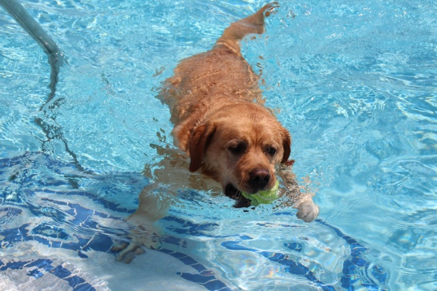 Dogs and their humans will get to play in the pool at the Frisco Athletic Center as part of Paws in the Pool. (Courtesy city of Frisco)