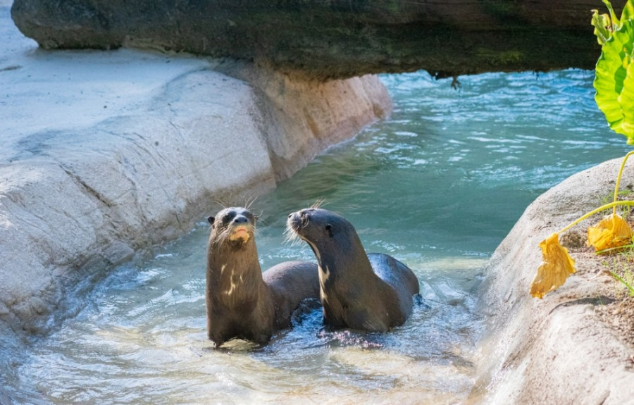 Giant river otters will be featured in the upcoming Pantanal habitat, which is set to open Oct. 10. (Courtesy Houston Zoo)