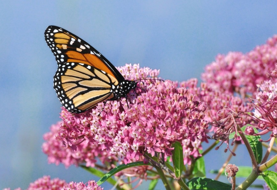 Around 300 million monarchs migrate twice a year through North America. (Courtesy Adobe Stock)