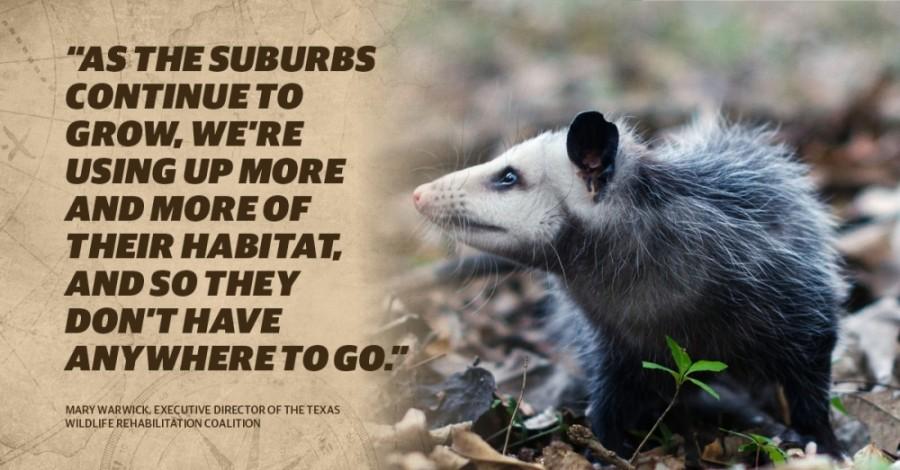 The Texas Wildlife Rehabilitation Coalition takes in 4,500 animals annually. (Courtesy Texas Wildlife and Rehabilitation Coalition)