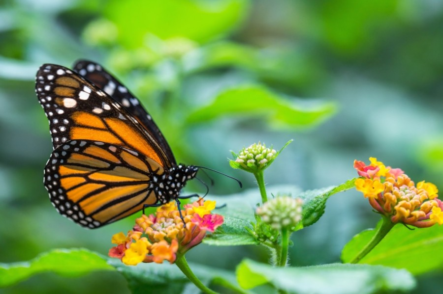 Monarch butterflies will soon be migrating through North Texas on their way to Canada from Mexico, and the city is looking to create a pit stop for them in downtown McKinney. (courtesy Adobe Stock)