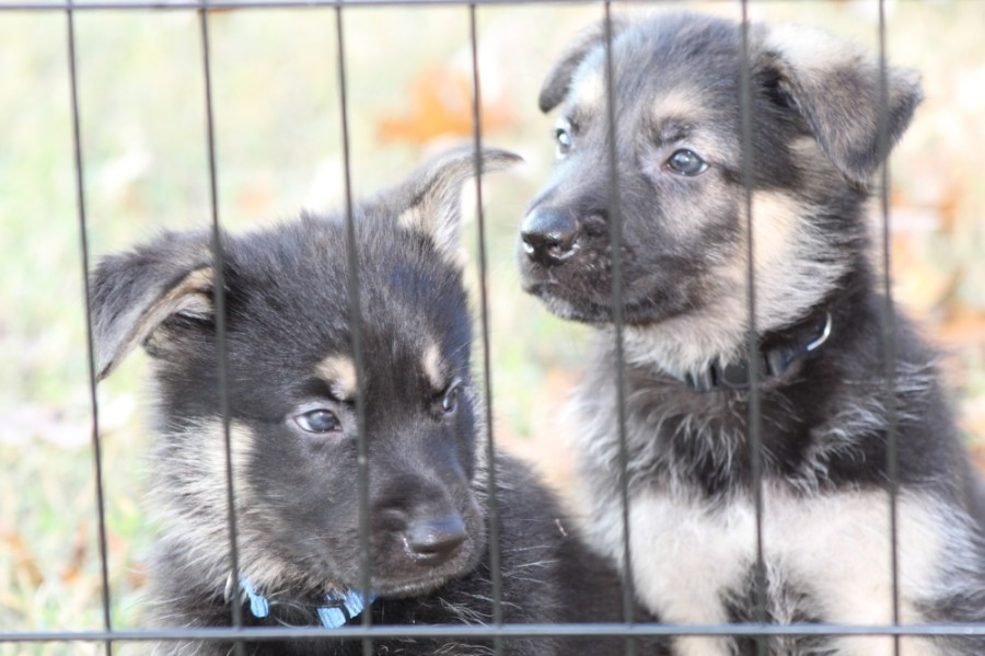 Carla Carroll founded the Zeus & Luna 2 Pay It Forward Foundation in February 2020, a nonprofit whose mission is to unite German shepherd puppies with military veterans, first responders and emergency medical services personnel. (Courtesy Carla Carroll)