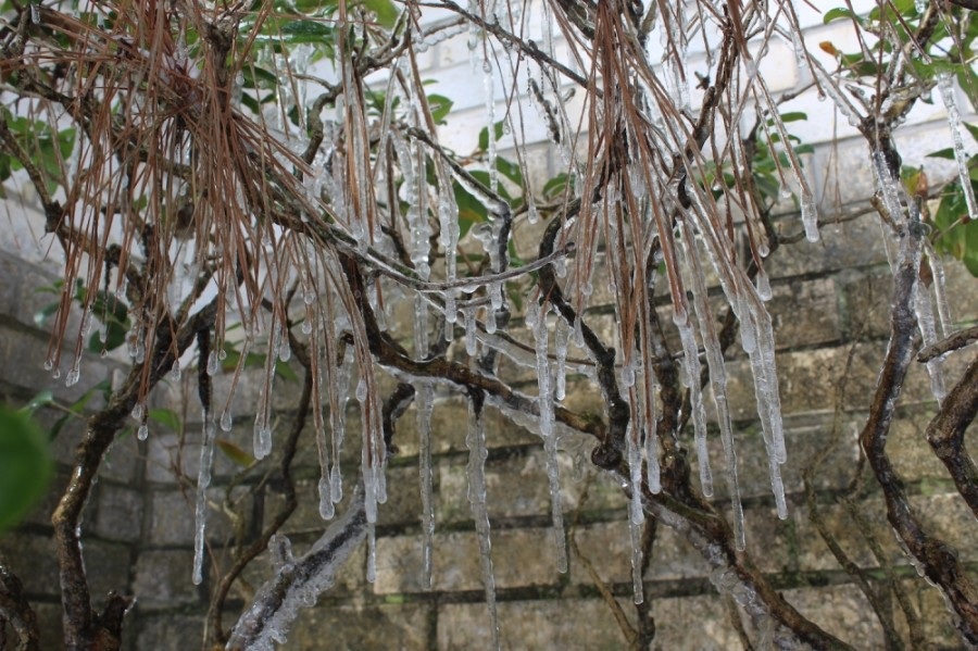 Icicles hung from trees and vegetation in the Cy-Fair area Feb. 15. (Hannah Zedaker/Community Impact Newspaper)