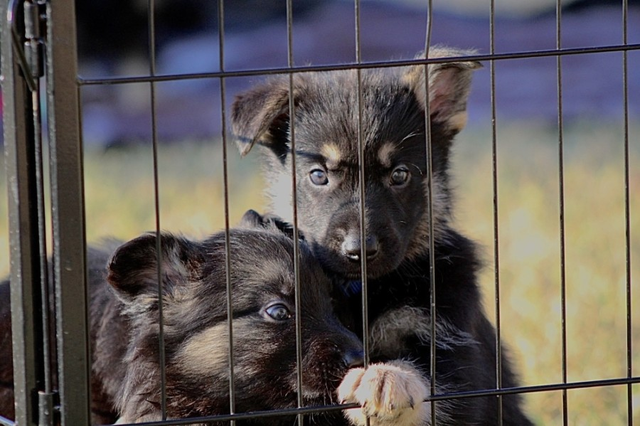 In February 2020 Carroll founded The Zeus & Luna 2 Pay It Forward Foundation, a nonprofit with a mission to unite German Shepherd puppies with military veterans, first responders and those in need of emotional support or protection. (Courtesy Carla Carroll)