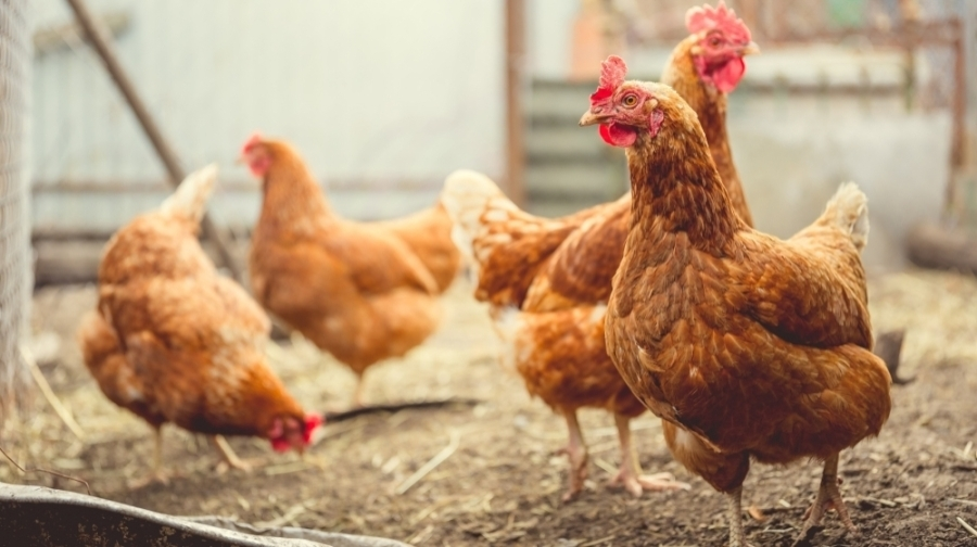 The ordinance states residents must be approved for a permit with the animal services department before owning chickens. (Courtesy Adobe Stock)