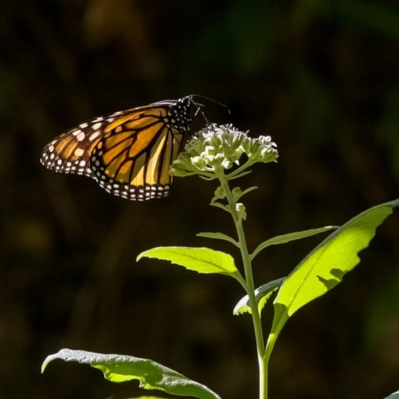 San Antonio's Monarch Butterfly and Pollinator Festival marks the monarch butterfly's migration with several fun, educational events. (Courtesy Texas Butterfly Ranch)